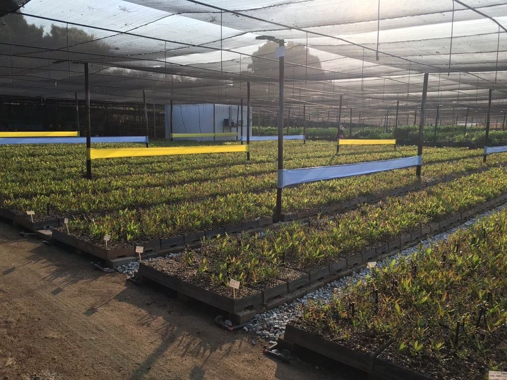yellow blue sticky roll in large macadamia nursery